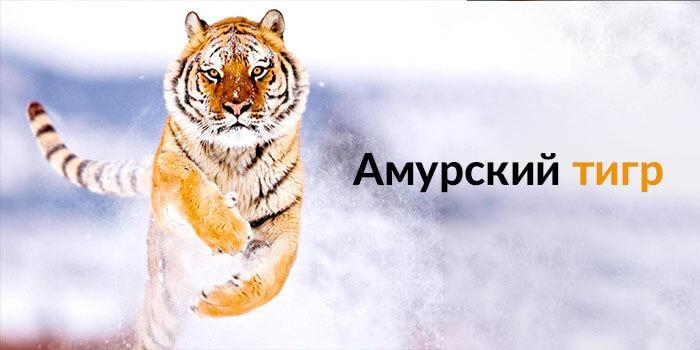амурский тигр для физических лиц - картинка